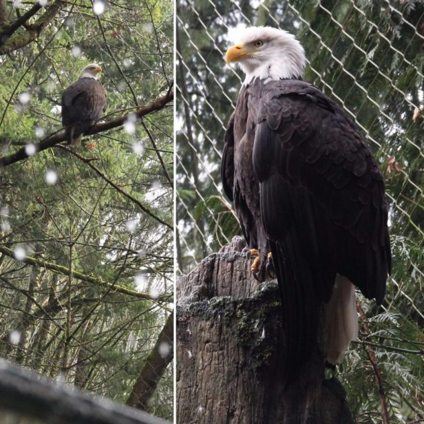 oregonzoo-eagle-1024x1024